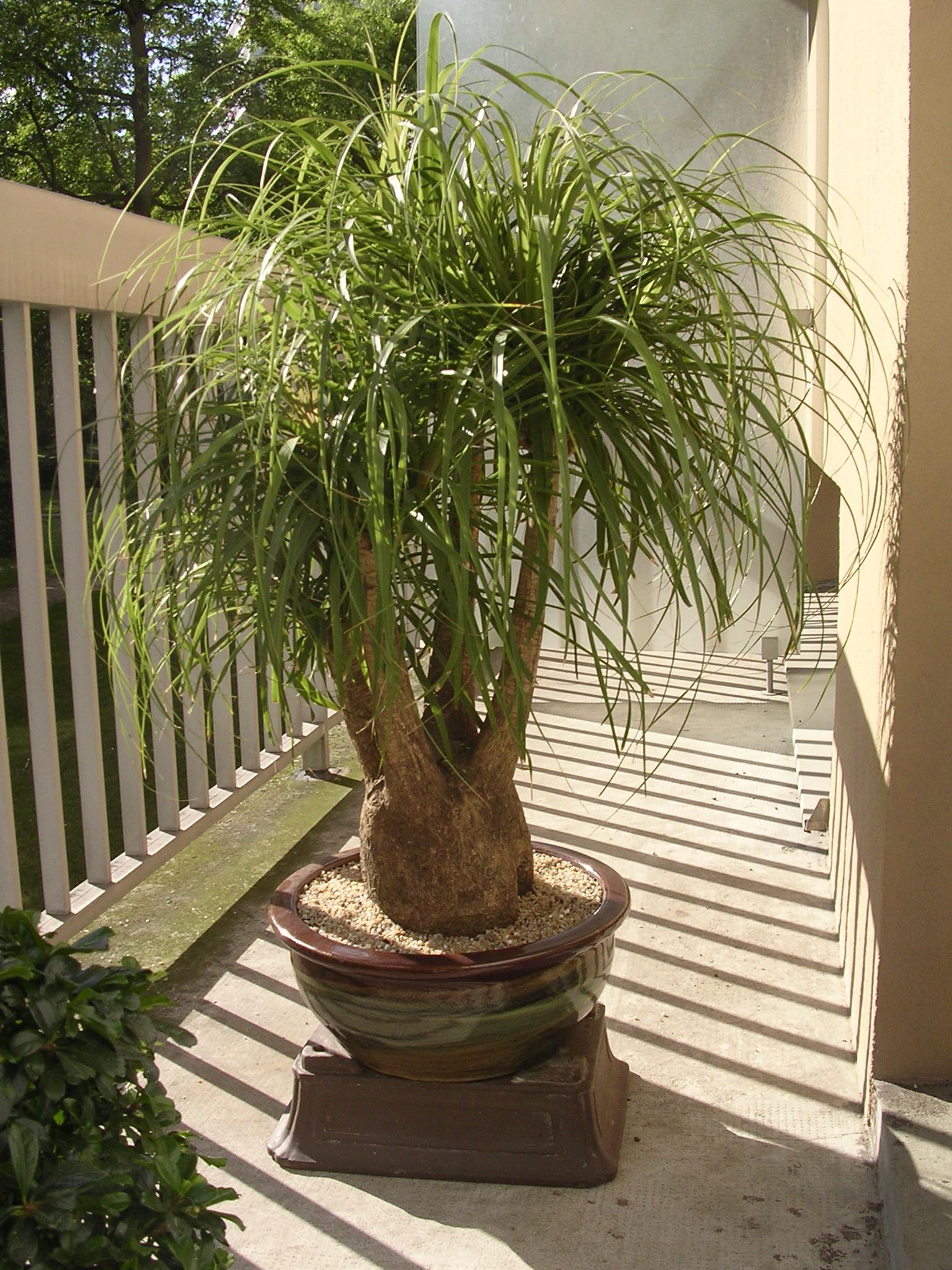 Conseil beaucarna forums plantes exotiques for Plante arbuste exterieur